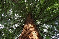 Tall-Tree-In-Oregon