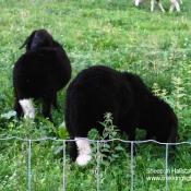Sheep in Hallstatt